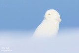 Harfang des neiges mâle #0354.jpg