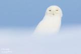 Harfang des neiges mâle #0346.jpg