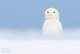 Harfang des neiges mâle #0328.jpg