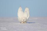 Harfang des neiges mâle #1589.jpg