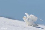 Harfang des neiges mâle #1173.jpg