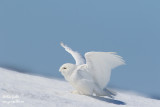 Harfang des neiges mâle #1172.jpg