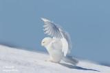 Harfang des neiges mâle #1171.jpg