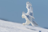 Harfang des neiges mâle #1170.jpg