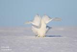 harfang des neiges mâle 1583.jpg