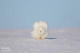Harfang des neiges mâle 1591.jpg