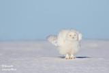 Harfang des neiges mâle #1528.jpg