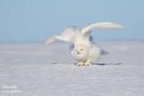 Harfang des neiges mâle #1493.jpg