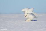 Harfang des neiges mâle #1478.jpg