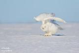 Harfang des neiges mâle #1481.jpg