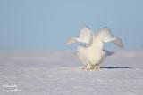 Harfang des neiges mâle #1575.jpg