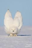 Harfang des neiges mâle #1589V.jpg