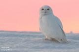 Harfang des neiges mâle #9747 - 3.jpg