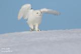 Harfang des neiges mâle #1348.jpg