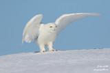 Harfang des neiges mâle #1347.jpg