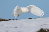 Harfang des neiges mâle #1333.jpg