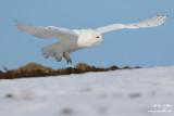 Harfang des neiges mâle #1332.jpg