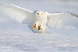 Harfang des neiges mâle #9466.jpg