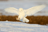 Harfang des neiges mâle - Male Snowy Owl - 57 photos