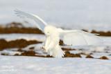 Harfang des neiges mâle #9512.jpg