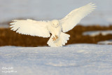 Harfang des neiges mâle #9060.jpg