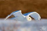 Harfang des neiges mâle #8889.jpg