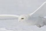 Harfang des neiges mâle #1162.jpg