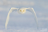 Harfang des neiges mâle #8810.jpg