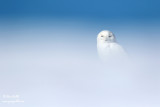 Harfang des neiges mâle #1124.jpg