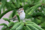Bruant des plaines - Clay-colored Sparrow - 1 photo