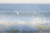 Sterne de Forster - Forster's Tern - 9 photos