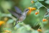 Colibri femelle & impatiente du Cap #6223.jpg