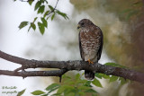 Petite buse - Broad-winged Hawk - 1 photo