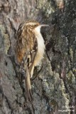 Grimpereau brun - Brown Creeper - 4 photos