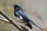 Paruline bleue - Black-throated Blue Warbler - 2 photos
