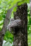 Bébé chouette rayée grimpant dans l'arbre #4475.jpg