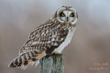 Hibou des marais - Short-eared Owl - 7 photos