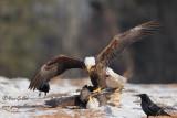 Pygargues - bagarre - Bald Eagles Fight #5121.jpg