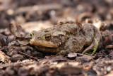 Vanlig padda - Common Toad (Bufo bufo)