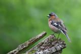 Bofink - Common Chaffinch (Fringilla coelebs)
