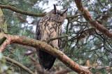 Berguv - Eurasian Eagle-Owl (Bubo bubo)