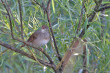 Flodsångare - River Warbler(Locustella fluviatilis)