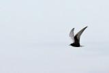 Vitvingad tärna - White-winged Black Tern (Chlidonias leucopterus)