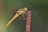 Tegelröd ängstrollslända -Vagrant Darter (Sympetrum vulgatum)