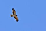 Dvärgörn - Booted eagle (Aquila pennata)