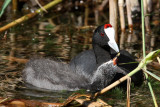 Kamsothöna - Red-knobbed Coot (Fulica cristata)