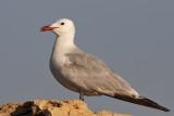 Rödnäbbad trut - Audouin's gull (Ichthyaetus audouinii)
