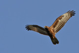 Bivråk - Honey Buzzard (Pernis apivorus)