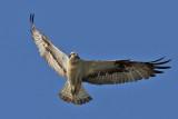 Fiskgjuse - Osprey (Pandion haliaetus)