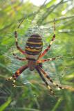 Getingspindel - Wasp spider (Argiope bruennichi)